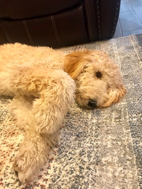 Goldendoodle laying on the carpet